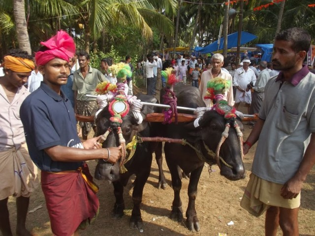 Photo Album: Thonse Padumane Kambala 2013
