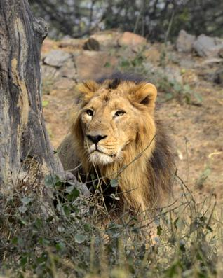 SC allows translocation of Asiatic lions to Madhya Pradesh
