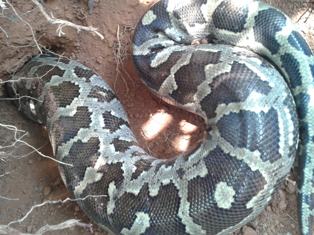 A huge python unearthed in Santhekatt​e