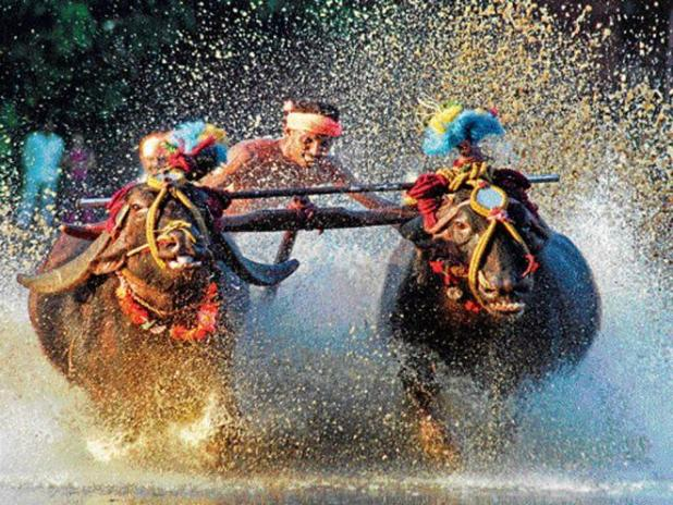 No pain or suffering caused to buffaloes in Kambala, Karnataka tells SC