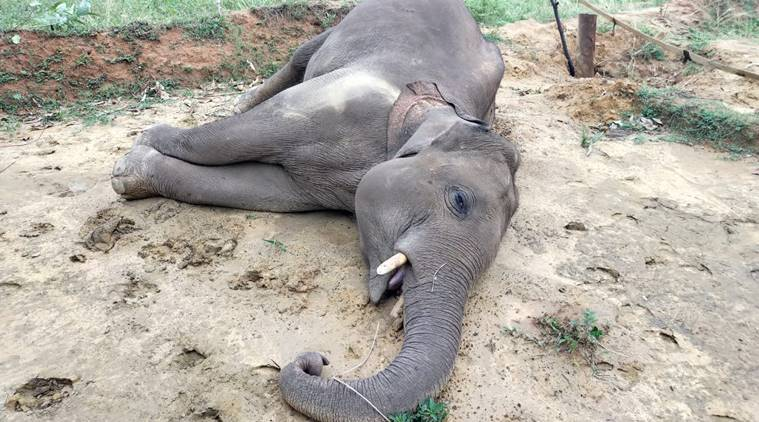 Two more elephants, including a calf, found dead in Chhattisgarh