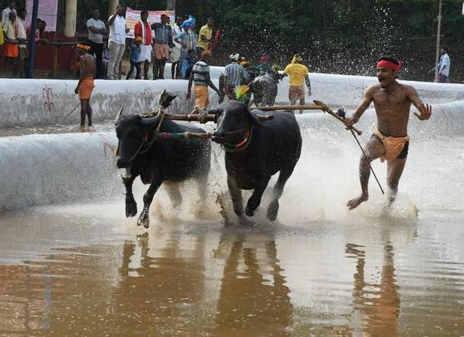 Slush-track buffalo race 'kambala' resumes in coastal Karnataka after a year's gap