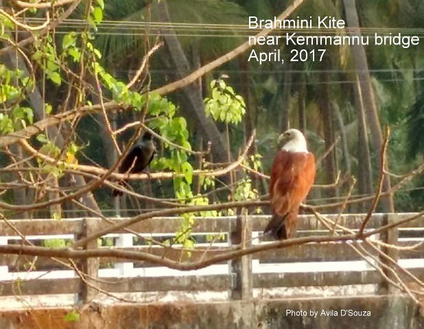 Nature Block: Flora and Fauna of Kemmannu (Thonse)  by Aaron Ambrose D'Souza