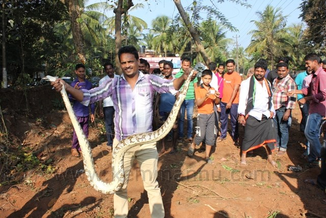 Kallianpur: Python  caught behind the residence of Mount Rosary Parish Priest.