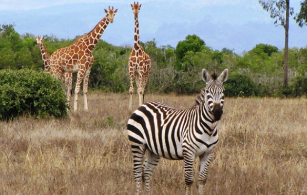 New Guests, Giraffe and Zebra from South Africa to Reach Pilikula Soon