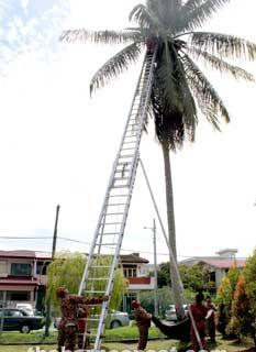 Woman atop coconut tree rescued by fire brigade