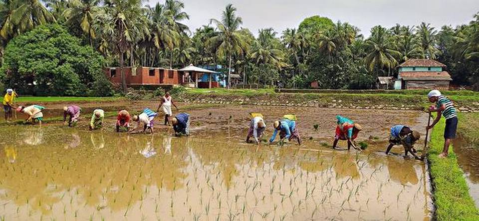 Paddy farmers upbeat after good rain and the coming of added manpower