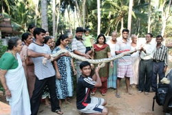 Huge Python caught in Kemmannu and released to the forest