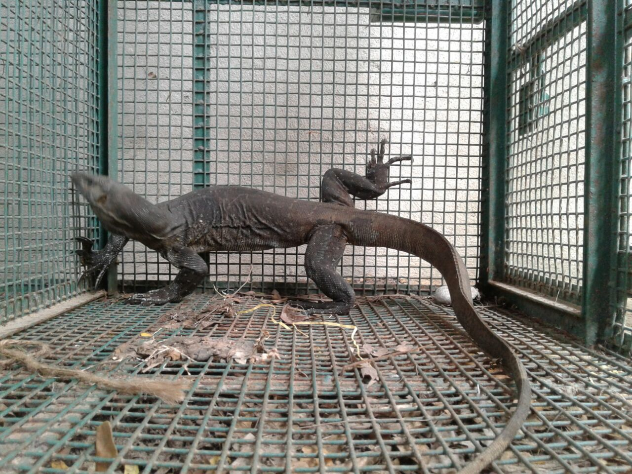Injured Monitor Lizard found and rescued in Parampalli area