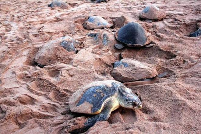 Olive Ridley turtles begin nesting for second time at Rushikulya