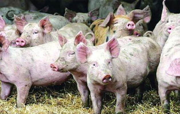 35 pigs smuggled out of Anekal farm by thieves