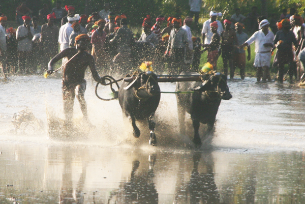 The Historical Thonse - Kemmannu Kambala will be held on November 24.