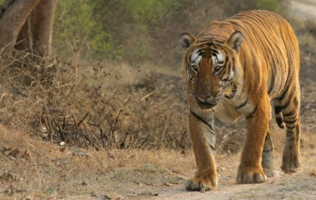 Bandipur's famous tiger, Prince dies -- 30th this year