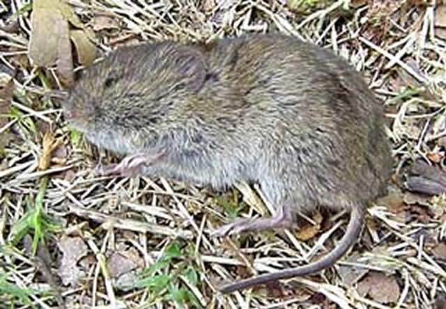 Dead vole in MCC water supply tank; Corporation orders investigation