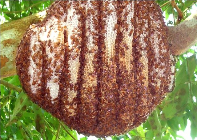 Honey bees nest in tree - photo#10